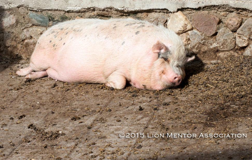 laptele matern porcul